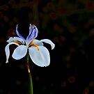 Iris Isolated on a Black Background by Buckwhite