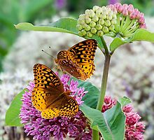 Great Spangled Fritillary Butterflies by Kenneth Keifer