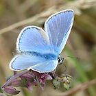 Common Blue by wizard327