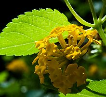 Yellow Lantana In Approaching Light by Rick  Bender