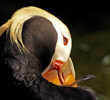 Bashful Tufted Puffin by Chuck Gardner