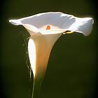 Calla Lily Sunrise by Humminggirl