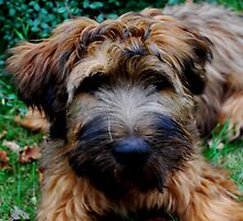 briard puppy by Heike Nagel