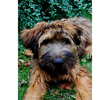 briard puppy Photographic Print