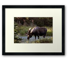 Bull Moose - 11646 Framed Print