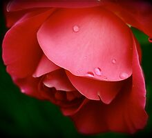 Raindrops on Roses by Humminggirl