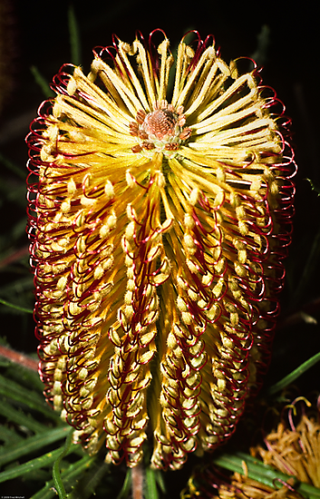 1985 Banksia spinolosa  in back yard by Fred Mitchell