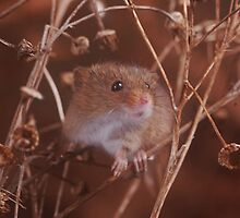 Field mouse by Dave  Butcher