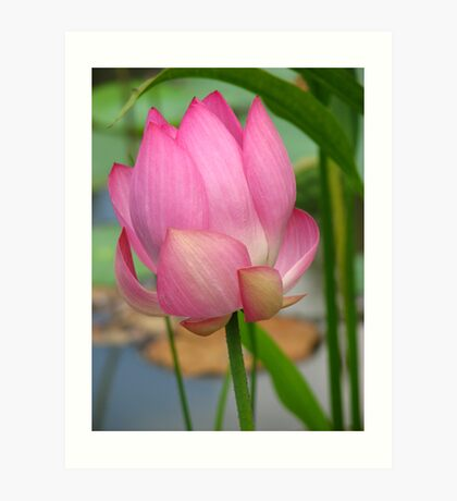 Pink Lotus Art Print