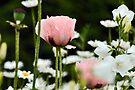 On a Whisper - Pink Poppy by Barbara Burkhardt