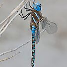 Rhionaeschna multicolor (Blue-eyed Darner) by Jim Johnson