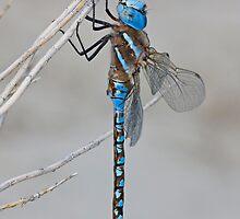 Rhionaeschna multicolor (Blue-eyed Darner) by Jim Johnson