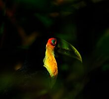 Toucan of Iguazu by photograham