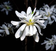 Star Magnolia by Eduard Gorobets