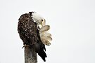 Time Out - American Bald Eagle by Barbara Burkhardt