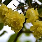 Yellow Roses in the garden at Lyme Dorset UK by lynn carter