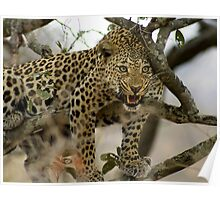 Leopard grunting Poster