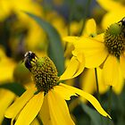 Beez Blackeyed Susan by kimbarose