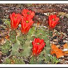 Prickly Pear Cactus Flowers by Ken  Aitchison