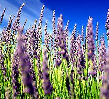 Lavender by Rick  Senley