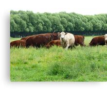 Cattle in Lush Pastures Canvas Print