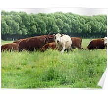 Cattle in Lush Pastures Poster