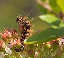 Knot Dagger Caterpillar by kernuak