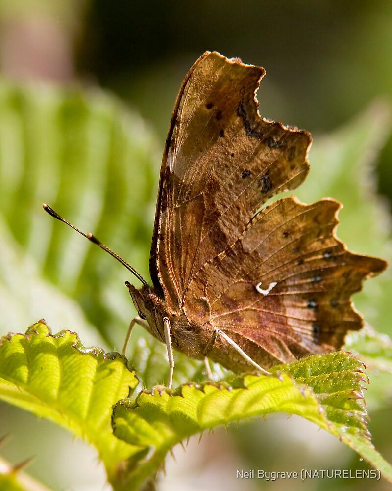 Comma Butterfly by Neil Bygrave (NATURELENS)