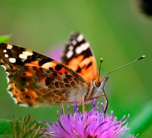 Painted Lady Butterfly. by Ian Chapman