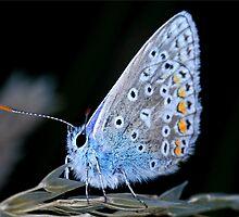 Little Common Blue Butterfly by Ian Chapman