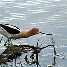 American Avocet - Hiding by Ryan Houston