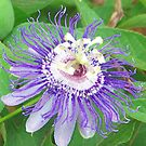 passion flower by Tracey Hampton