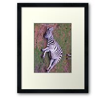 Listening Zebra Framed Print