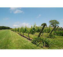 Grape vines Photographic Print