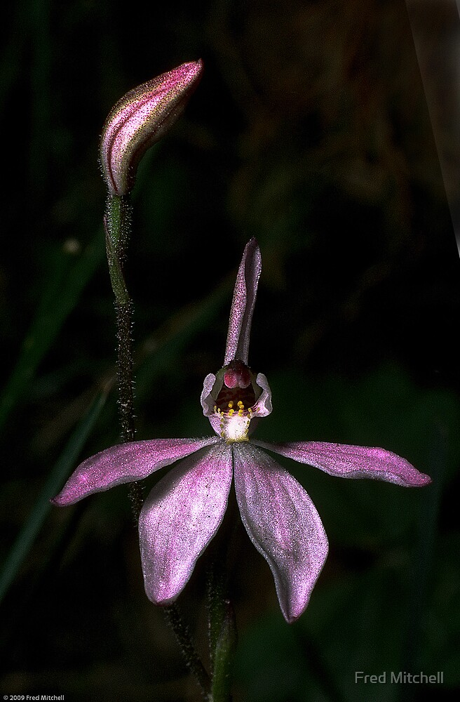 Orchids Roses Gap road Grampians 198510120015 by Fred Mitchell