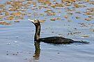 Little Black Cormorant by Robert Elliott