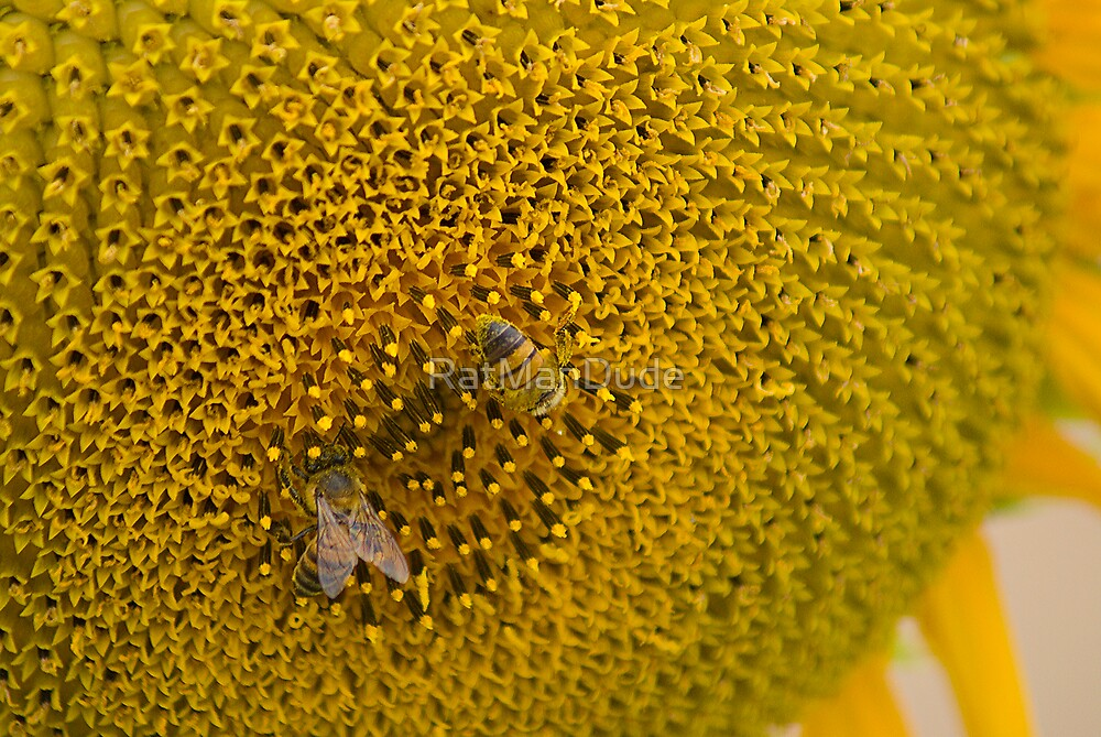 Pair of Busy Bees on Sunflower by RatManDude