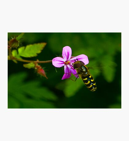 Hoverfly #1 Photographic Print