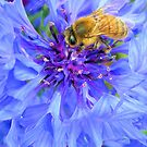 Bee on  Blue by JuliaWright