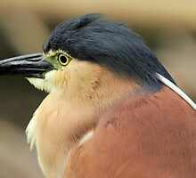 Nankeen Night Heron VI by Tom Newman