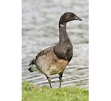 Brant Goose Profile. Photographic Print