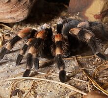 Adorable Red Knee Tarantula