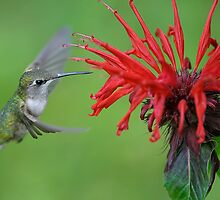 Hummingbird by okcandids