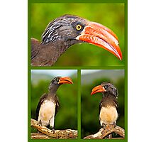 African Hornbill's Photographic Print