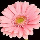 Pink Gerbera by Julie McBrien