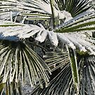 Frosty palm tree by Susan Misicka