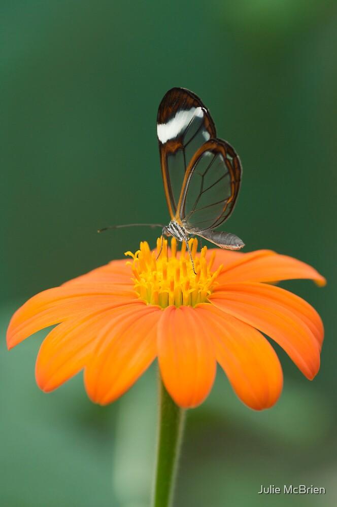 Glasswing Butterfly on Orange Daisy by Julie McBrien