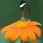 Glasswing Butterfly on Orange Daisy by Julie McBrien