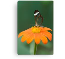 Glasswing Butterfly on Orange Daisy Canvas Print