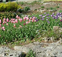 Pink and Purple Tulips by globalcomdev